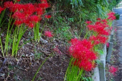 The red flowers are cluster-amaryllises at 3.3km