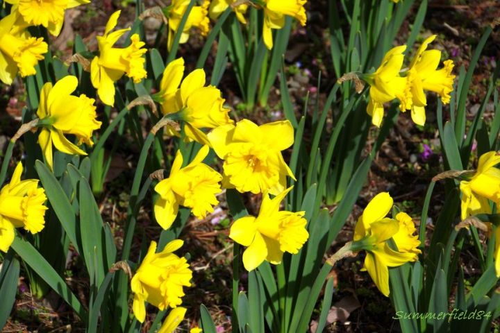 Flower of yellow narcissus