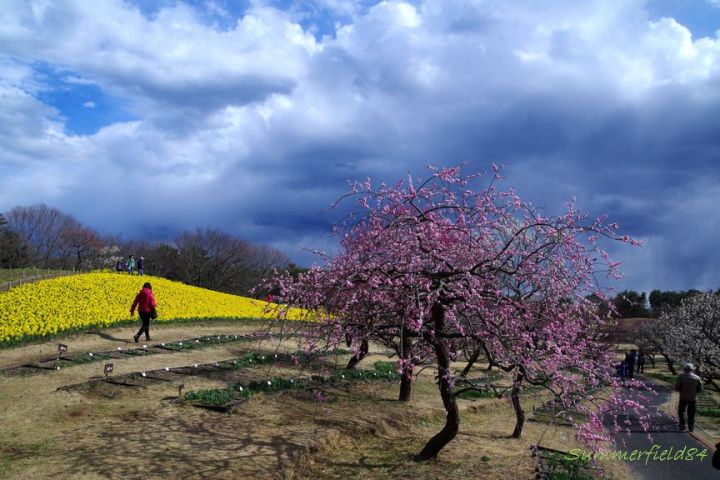Yellow narcissus and Japanese apricot trees
