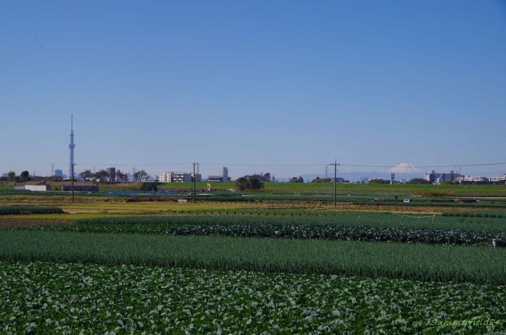 Tokyo Sky Tree and Mt.Fuji seen beyond the fields
