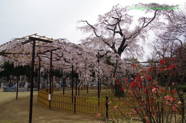the weeping cherry tree