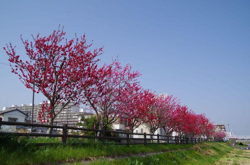 Fresh Peach Blossoms