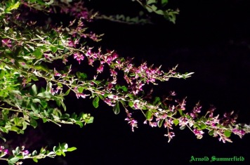 The blossoms of Japanese clover in the night.
